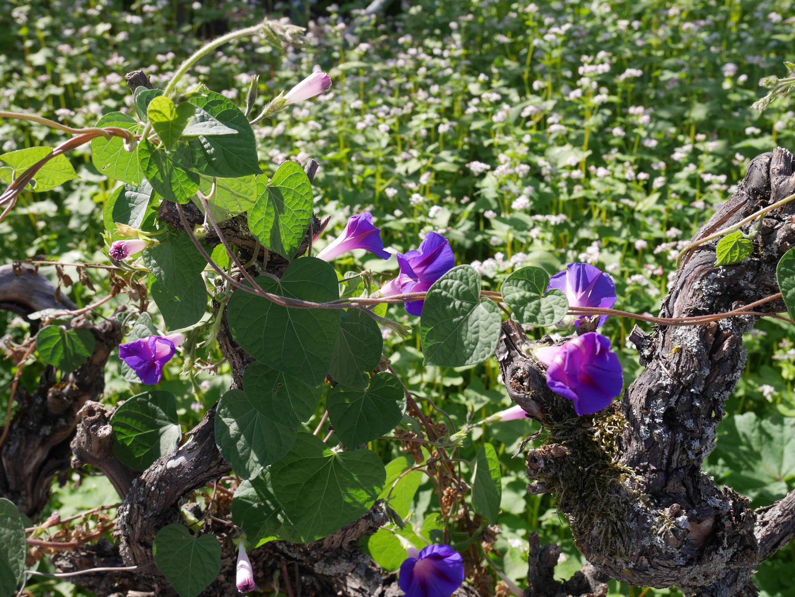 blå-blomma